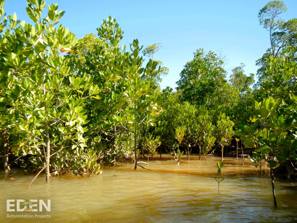 Young mangrove forest in water