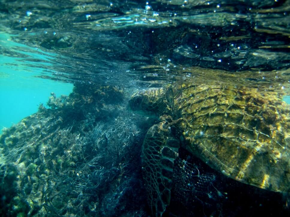 Turtles are affected by rising sea temperatures, a result of climate change